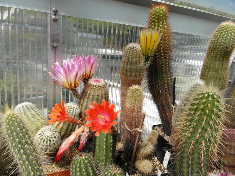 Cacti and Sukkulent in Köln, every day new flowers in the greenhouse Part 56 Bild_474