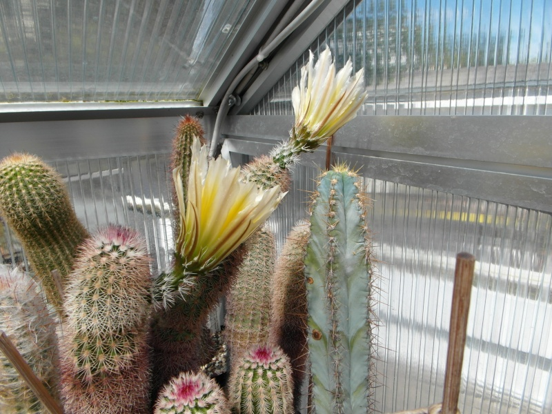 Cacti and Sukkulent in Köln, every day new flowers in the greenhouse Part 56 Bild_476