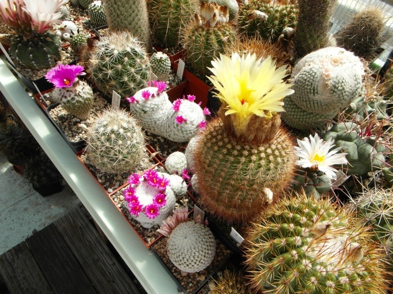 Cacti and Sukkulent in Köln, every day new flowers in the greenhouse Part 56 Bild_479