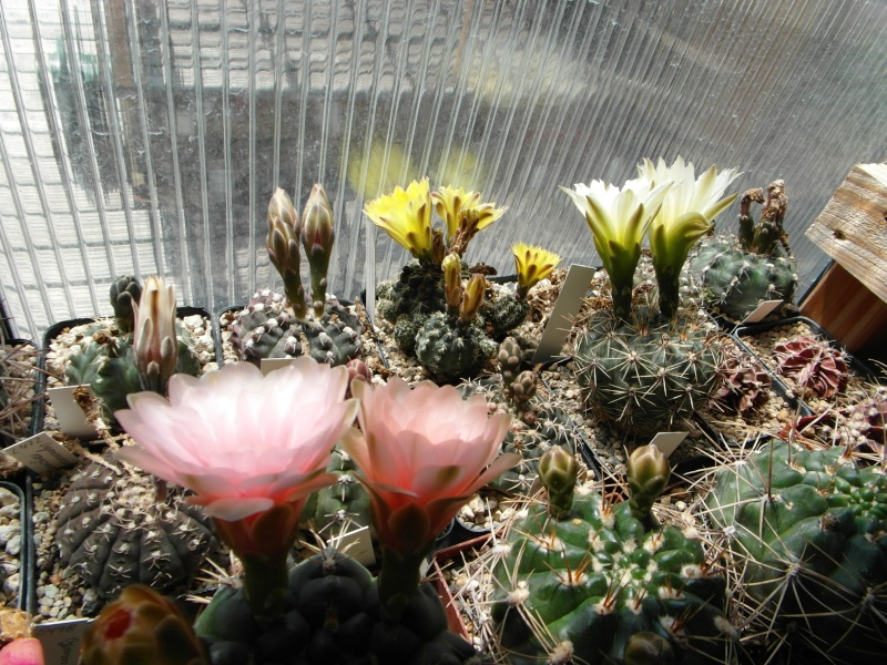 Cacti and Sukkulent in Köln, every day new flowers in the greenhouse Part 56 Bild_481
