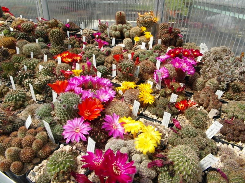 Cacti and Sukkulent in Köln, every day new flowers in the greenhouse Part 56 Bild_485