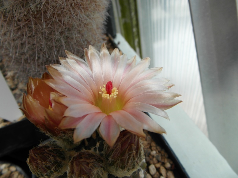 Cacti and Sukkulent in Köln, every day new flowers in the greenhouse Part 56 Bild_496