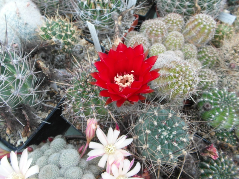 Cacti and Sukkulent in Köln, every day new flowers in the greenhouse Part 53 Bild_514