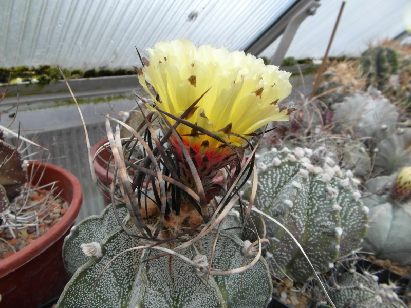 Cacti and Sukkulent in Köln, every day new flowers in the greenhouse Part 53 Bild_517