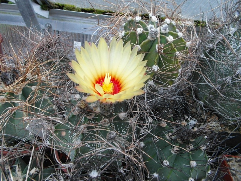 Cacti and Sukkulent in Köln, every day new flowers in the greenhouse Part 53 Bild_519