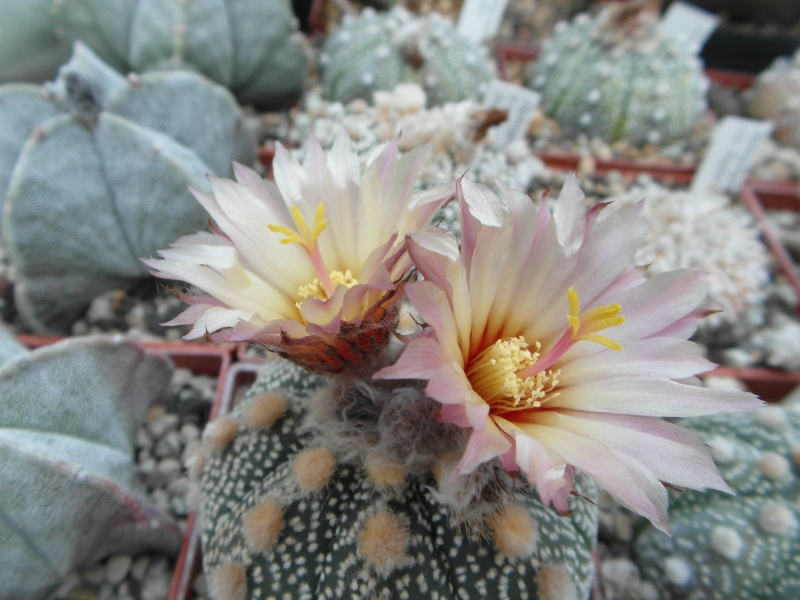 Cacti and Sukkulent in Köln, every day new flowers in the greenhouse Part 53 Bild_522