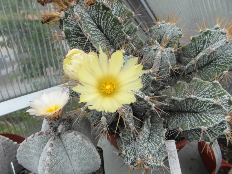 Cacti and Sukkulent in Köln, every day new flowers in the greenhouse Part 53 Bild_524