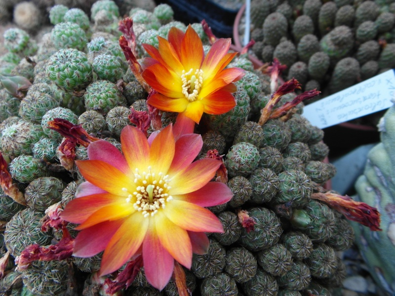 Cacti and Sukkulent in Köln, every day new flowers in the greenhouse Part 53 Bild_531