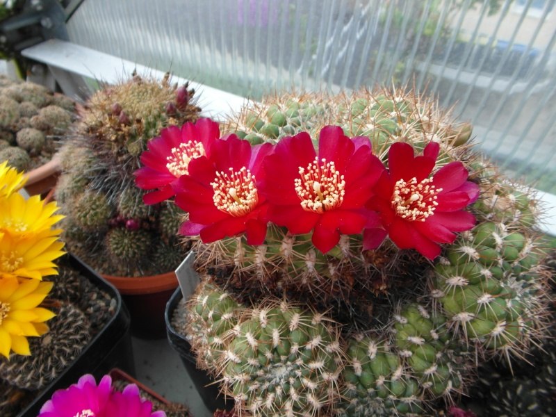 Cacti and Sukkulent in Köln, every day new flowers in the greenhouse Part 53 Bild_537