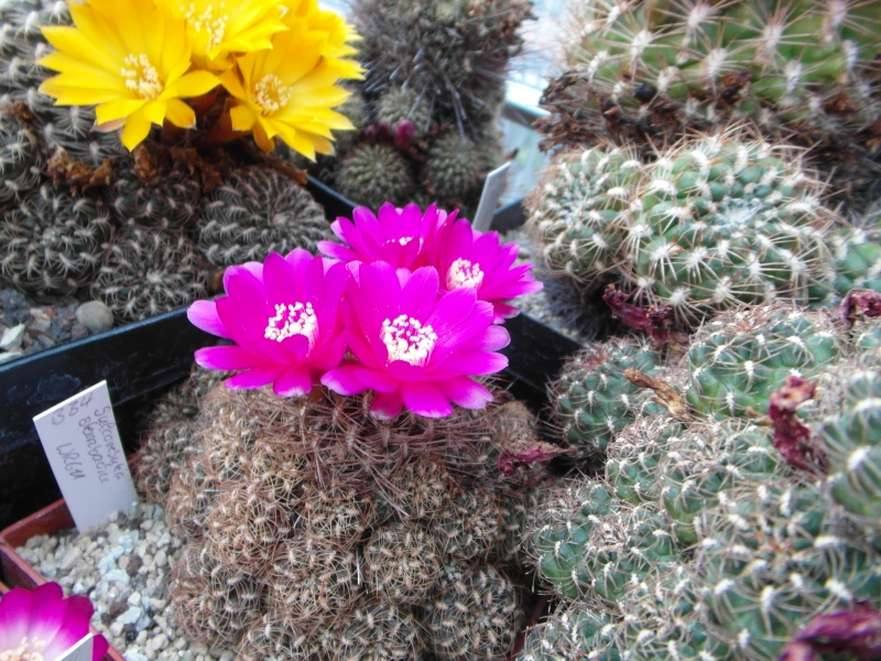 Cacti and Sukkulent in Köln, every day new flowers in the greenhouse Part 53 Bild_538