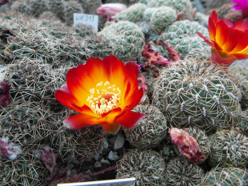 Cacti and Sukkulent in Köln, every day new flowers in the greenhouse Part 53 Bild_550
