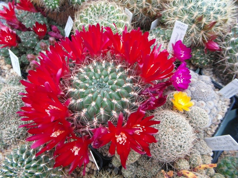 Cacti and Sukkulent in Köln, every day new flowers in the greenhouse Part 53 Bild_554