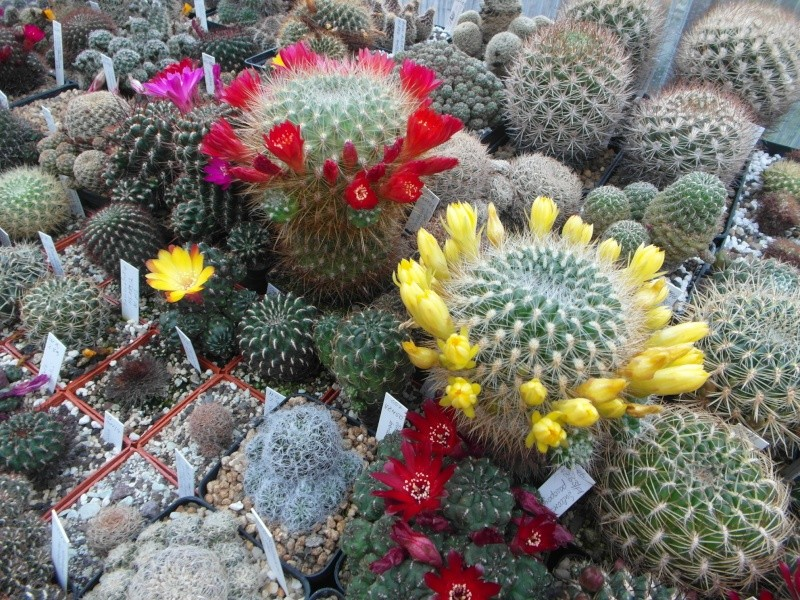 Cacti and Sukkulent in Köln, every day new flowers in the greenhouse Part 53 Bild_555