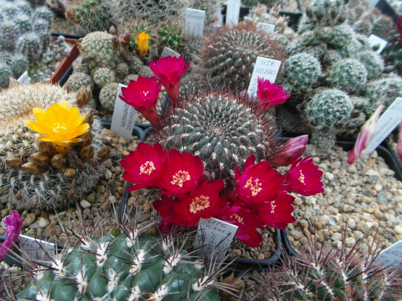 Cacti and Sukkulent in Köln, every day new flowers in the greenhouse Part 53 Bild_557