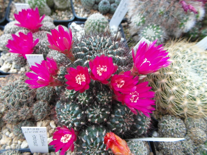 Cacti and Sukkulent in Köln, every day new flowers in the greenhouse Part 53 Bild_559