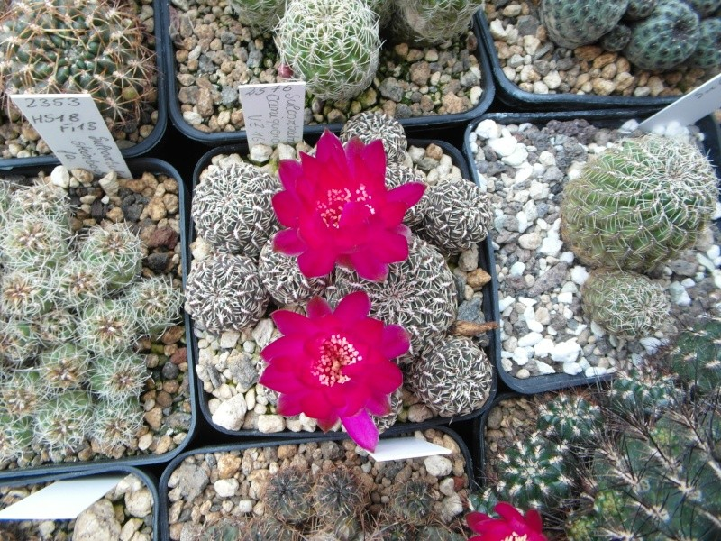 Cacti and Sukkulent in Köln, every day new flowers in the greenhouse Part 53 Bild_560