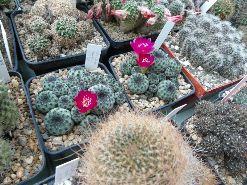 Cacti and Sukkulent in Köln, every day new flowers in the greenhouse Part 53 Bild_561