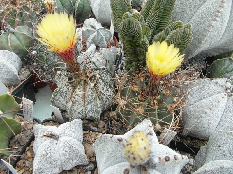 Cacti and Sukkulent in Köln, every day new flowers in the greenhouse Part 53 Bild_574