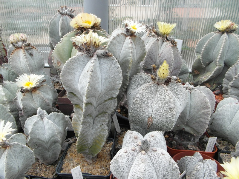 Cacti and Sukkulent in Köln, every day new flowers in the greenhouse Part 53 Bild_579