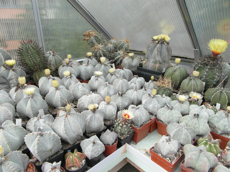Cacti and Sukkulent in Köln, every day new flowers in the greenhouse Part 53 Bild_580