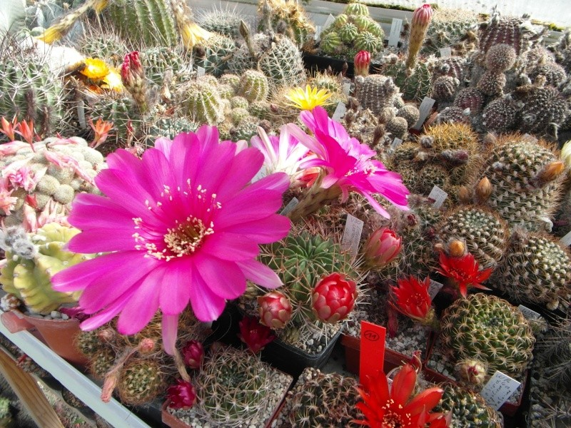 Cacti and Sukkulent in Köln, every day new flowers in the greenhouse Part 53 Bild_593