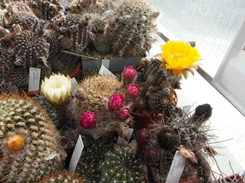 Cacti and Sukkulent in Köln, every day new flowers in the greenhouse Part 53 Bild_595