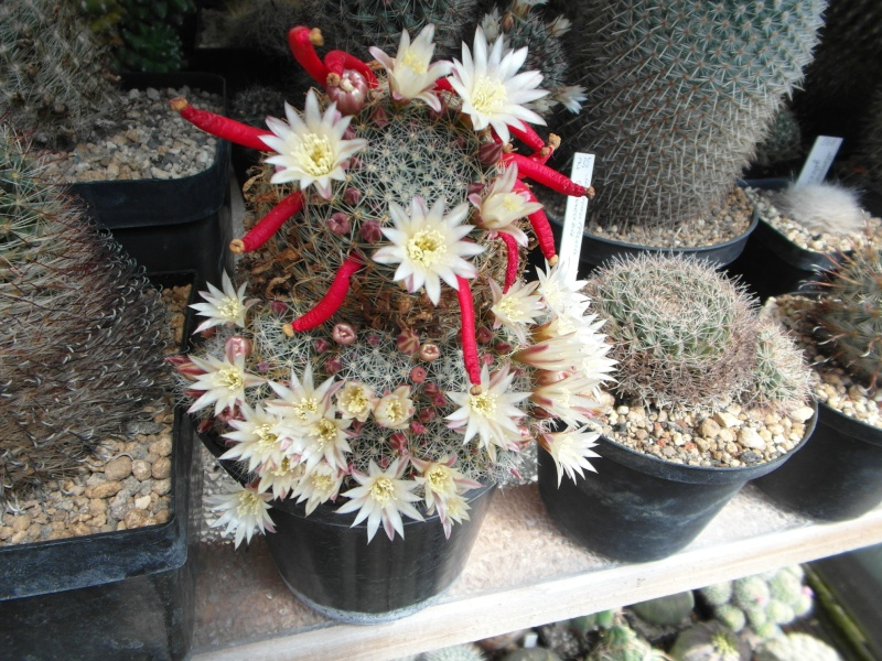 Cacti and Sukkulent in Köln, every day new flowers in the greenhouse Part 56 Bild_604
