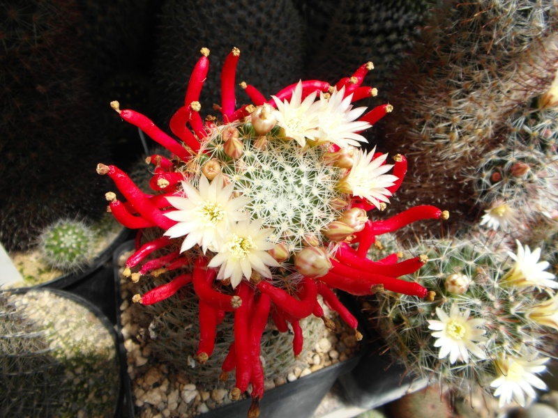 Cacti and Sukkulent in Köln, every day new flowers in the greenhouse Part 56 Bild_606