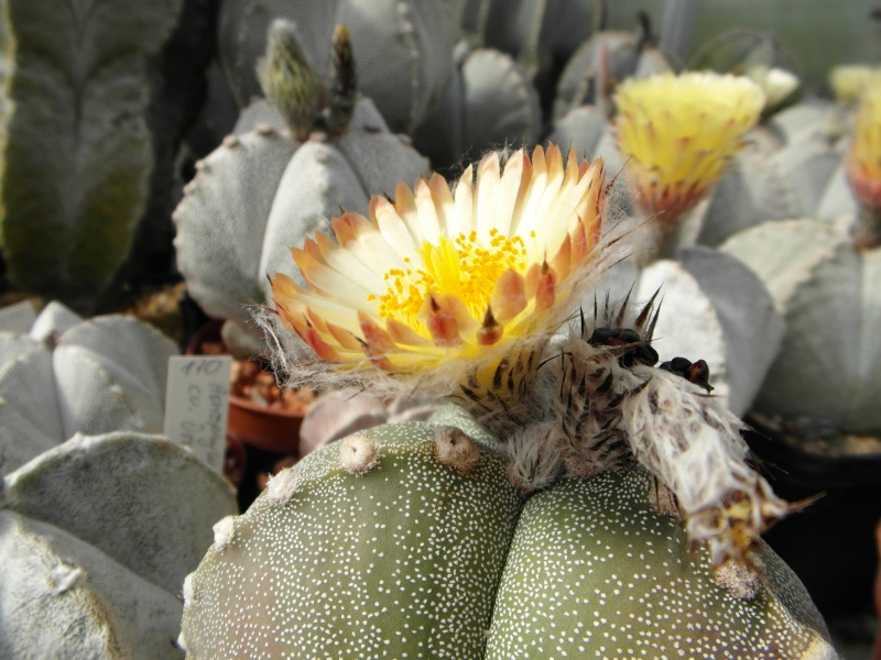 Cacti and Sukkulent in Köln, every day new flowers in the greenhouse Part 56 Bild_613