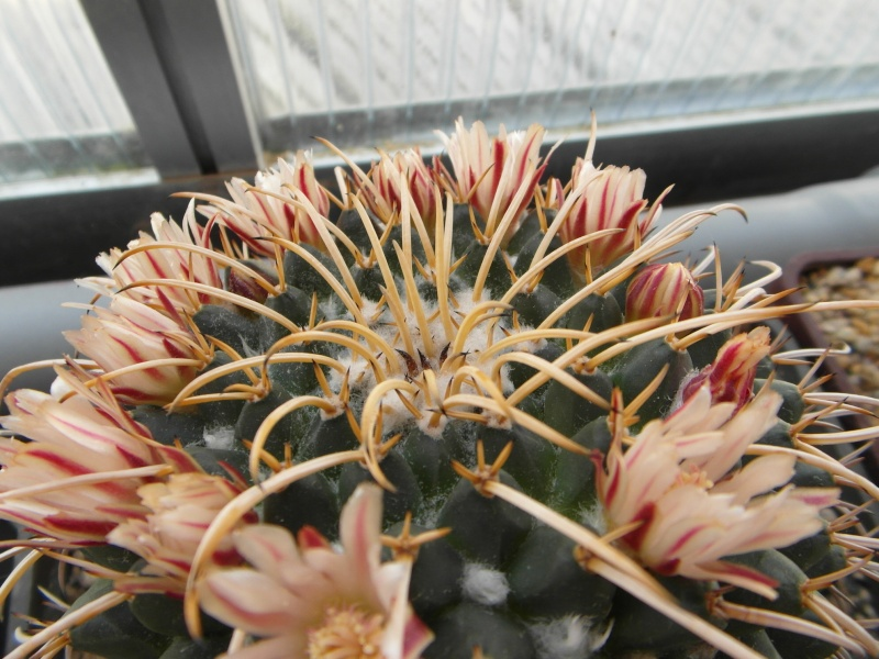 Cacti and Sukkulent in Köln, every day new flowers in the greenhouse Part 56 Bild_616