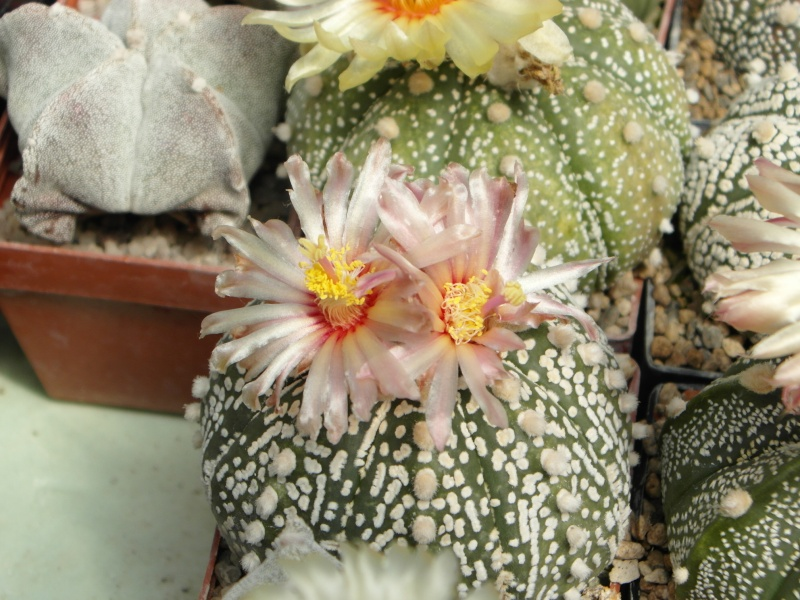Cacti and Sukkulent in Köln, every day new flowers in the greenhouse Part 56 Bild_637