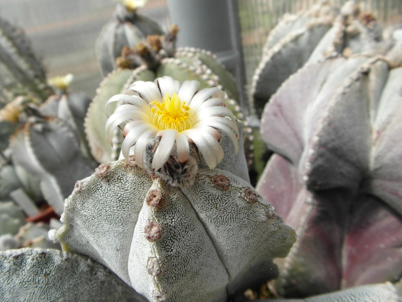 Cacti and Sukkulent in Köln, every day new flowers in the greenhouse Part 56 Bild_642