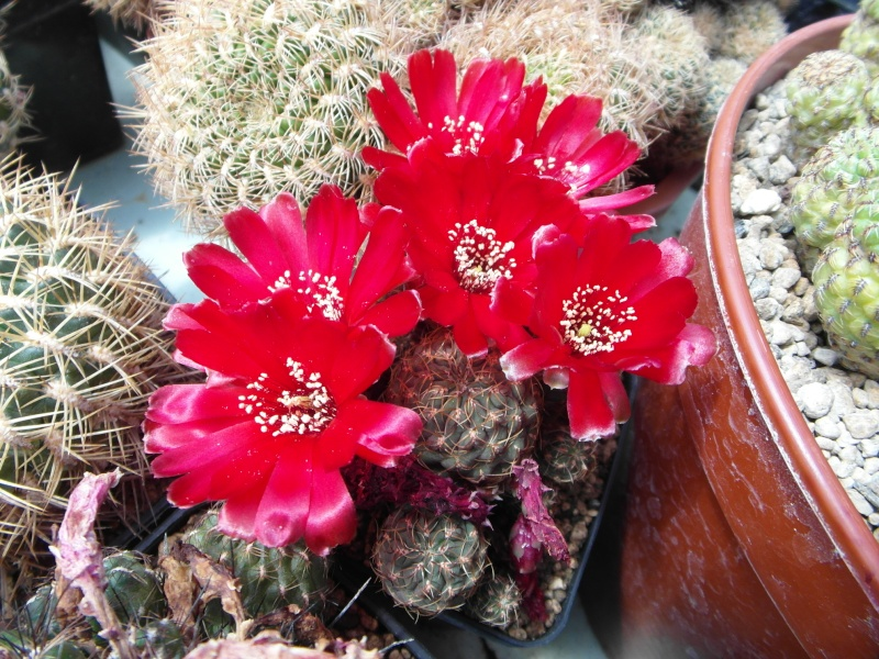 Cacti and Sukkulent in Köln, every day new flowers in the greenhouse Part 56 Bild_643