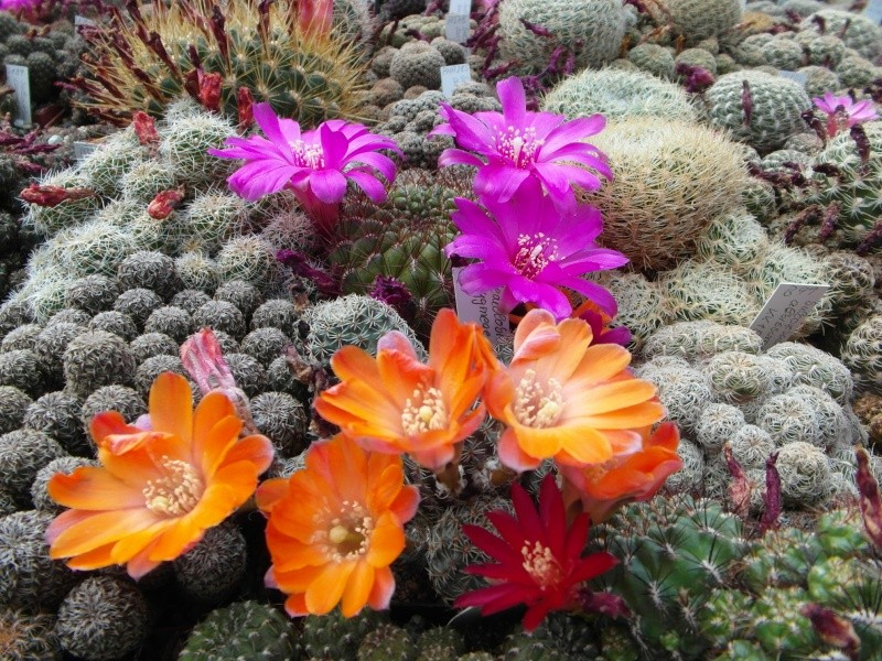 Cacti and Sukkulent in Köln, every day new flowers in the greenhouse Part 56 Bild_646