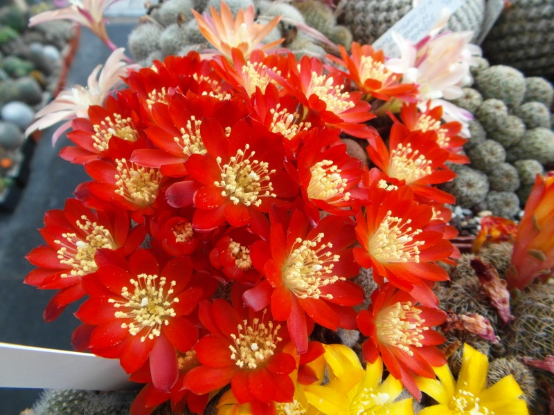 Cacti and Sukkulent in Köln, every day new flowers in the greenhouse Part 56 Bild_650