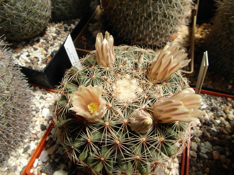 Cacti and Sukkulent in Köln, every day new flowers in the greenhouse Part 57 Bild_655
