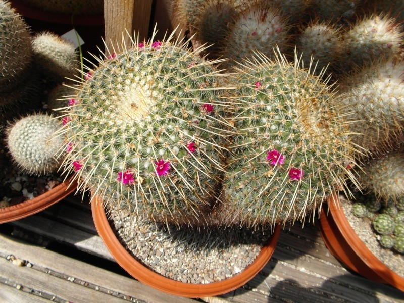 Cacti and Sukkulent in Köln, every day new flowers in the greenhouse Part 57 Bild_662
