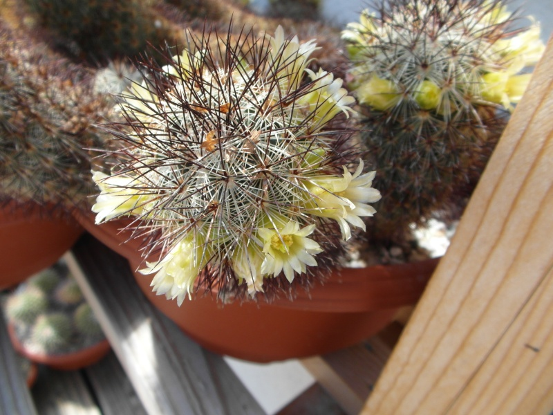 Cacti and Sukkulent in Köln, every day new flowers in the greenhouse Part 57 Bild_663