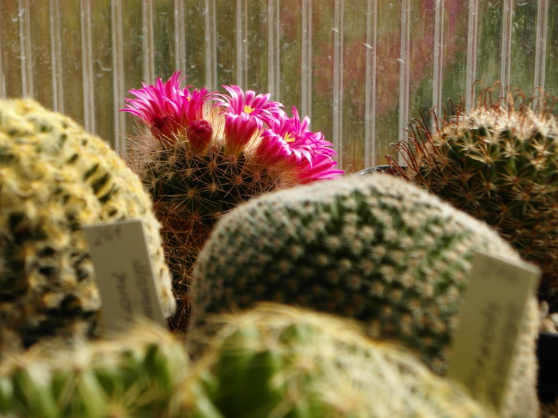 Cacti and Sukkulent in Köln, every day new flowers in the greenhouse Part 57 Bild_664