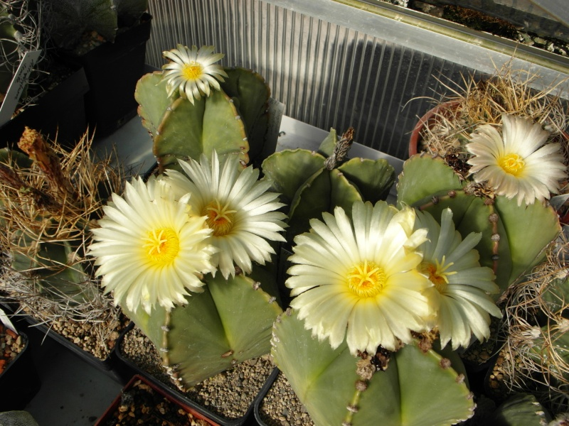 Cacti and Sukkulent in Köln, every day new flowers in the greenhouse Part 57 Bild_690