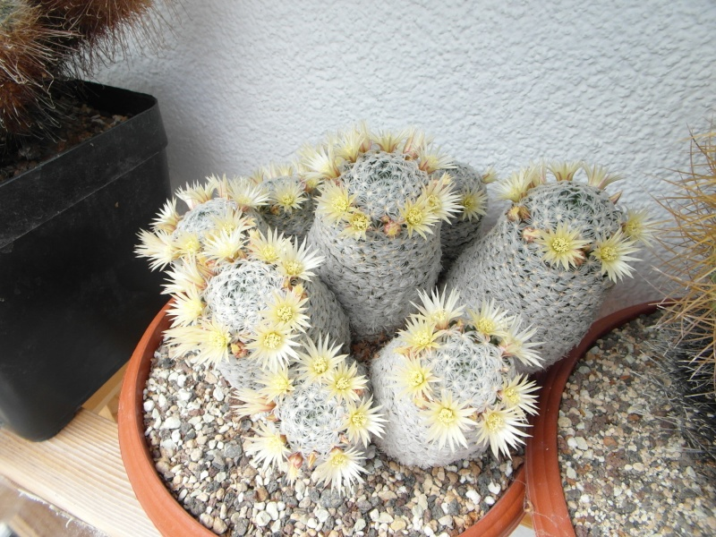 Cacti and Sukkulent in Köln, every day new flowers in the greenhouse Part 57 Bild_697