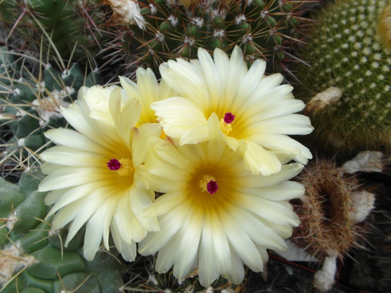 Cacti and Sukkulent in Köln, every day new flowers in the greenhouse Part 57 Bild_706