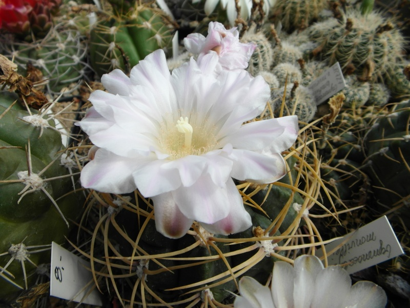 Cacti and Sukkulent in Köln, every day new flowers in the greenhouse Part 57 Bild_708