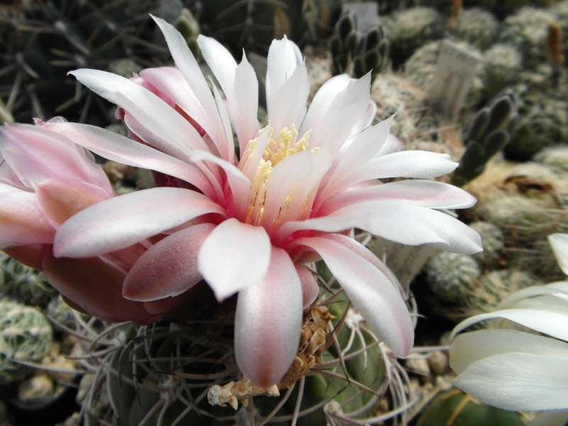Cacti and Sukkulent in Köln, every day new flowers in the greenhouse Part 57 Bild_710