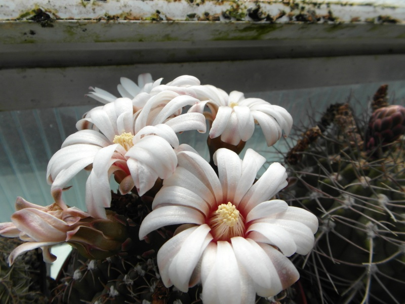 Cacti and Sukkulent in Köln, every day new flowers in the greenhouse Part 57 Bild_711
