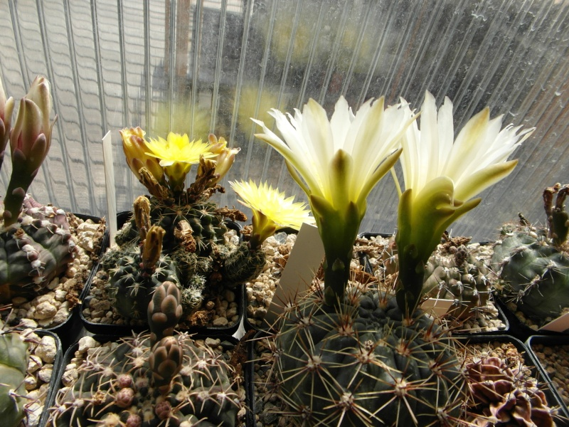 Cacti and Sukkulent in Köln, every day new flowers in the greenhouse Part 57 Bild_716