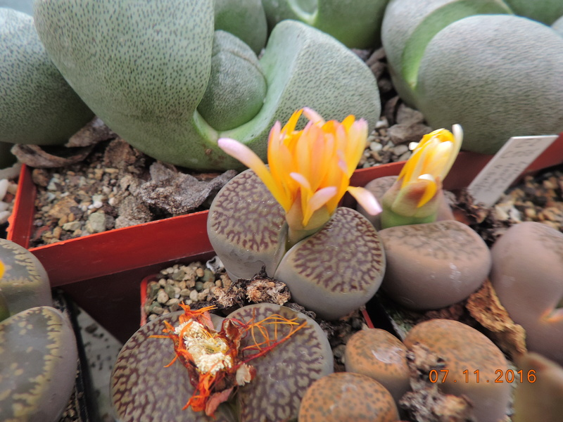 Cacti and Sukkulent in Köln, every day new flowers in the greenhouse Part 153 Bild_744