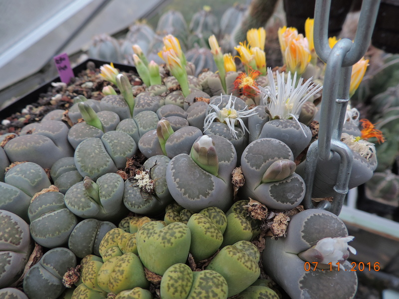 Cacti and Sukkulent in Köln, every day new flowers in the greenhouse Part 153 Bild_745
