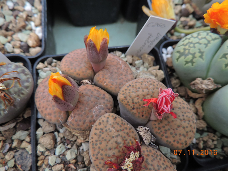 Cacti and Sukkulent in Köln, every day new flowers in the greenhouse Part 153 Bild_751