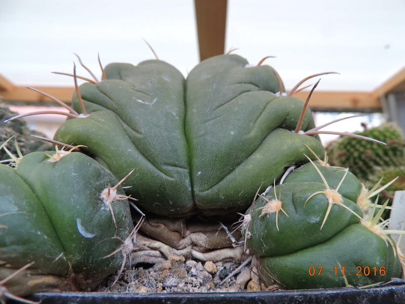 Cacti and Sukkulent in Köln, every day new flowers in the greenhouse Part 153 Bild_759